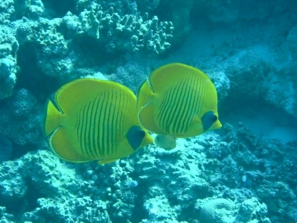 Des poissons papillon tabac