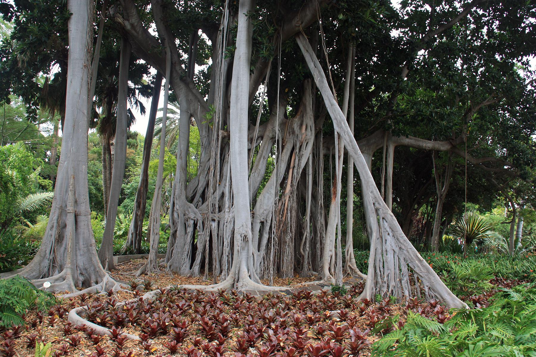 Des arbres lianes